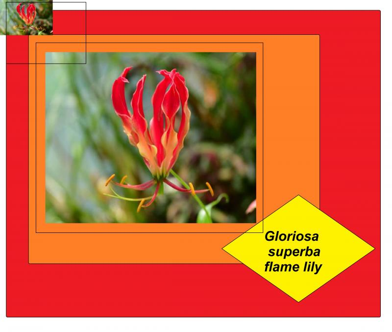 Gloriosa superba flame lily red orange yellow