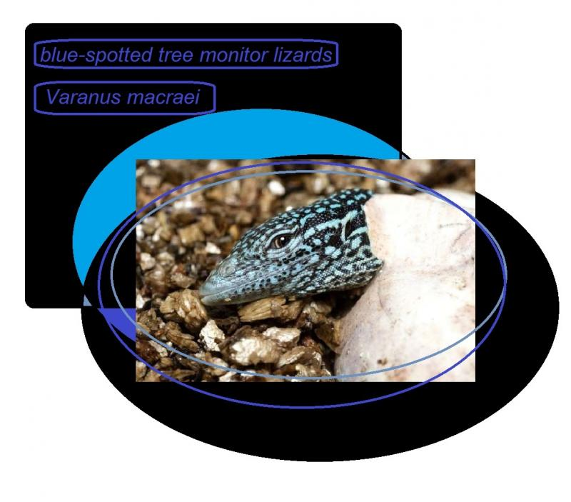 Varanus macraei blue spotted tree monitor Lizard