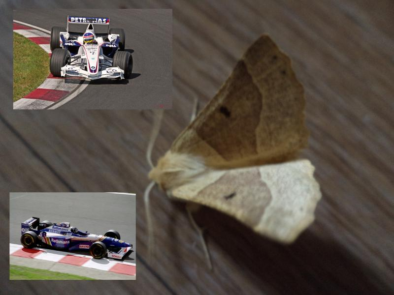 brown moth williams sauber