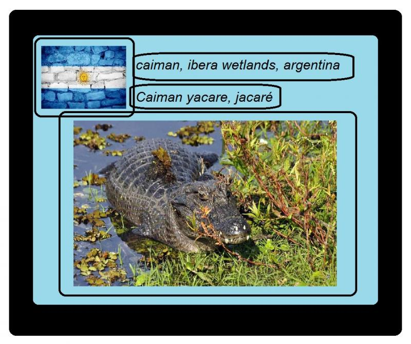 caiman argentina ibera alligator wetlands
