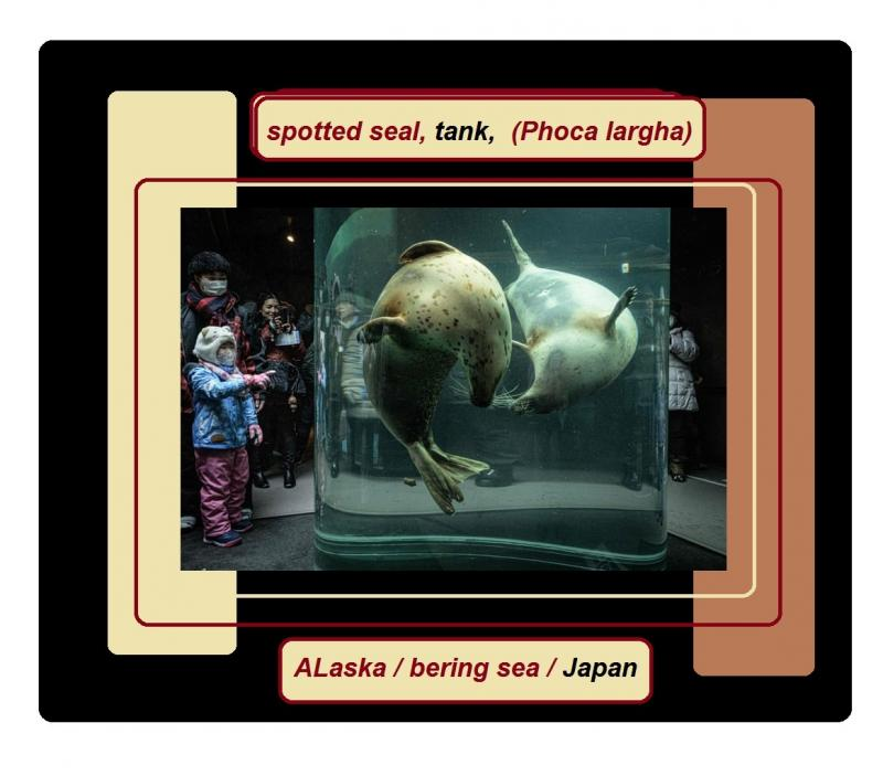 spotted seaL tank ALaska bering sea japan