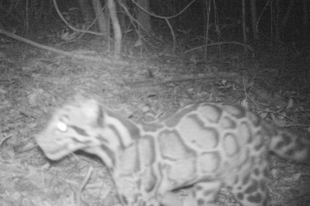 thaiLand cambodia border cLouded Leopard first time sighted Live en 20 years